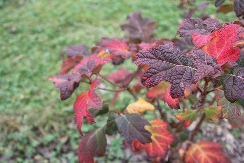 3 hydrangea quercifolia paris 24 déc 2012 077 (2).jpg