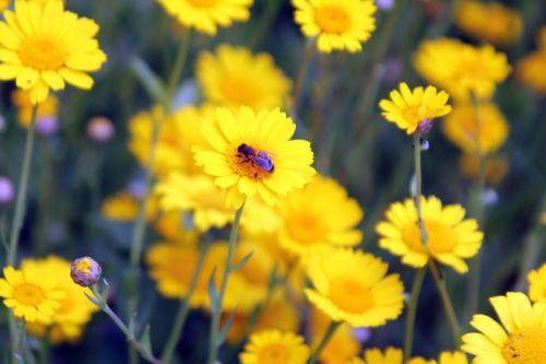 glebionis segetum 4 paris 23 juin 2012 430.jpg