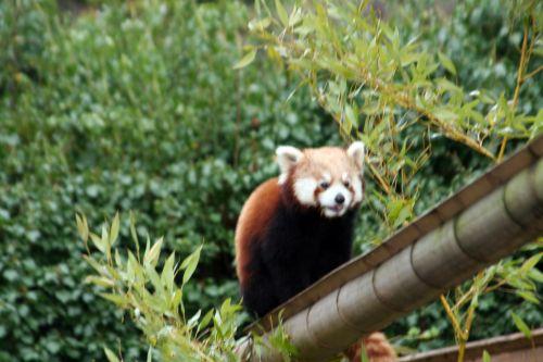 petit panda 9 fev 060.jpg