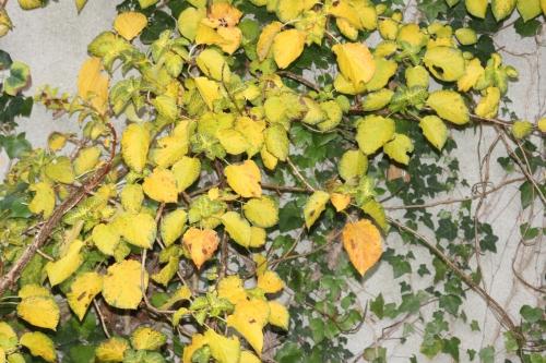 z hydrangea petiolaris veneux 22 oct 2015 002 (4).jpg