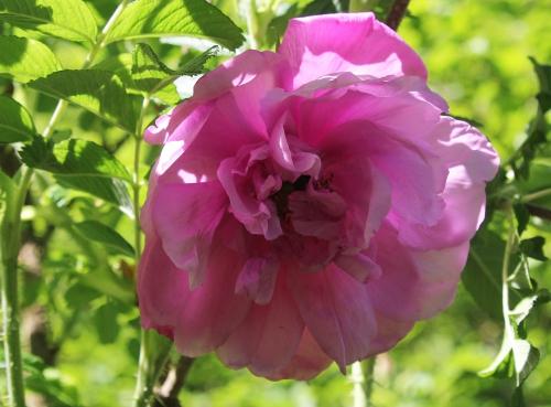 4 rosa rugosa romi 18 mai 2015 037.jpg