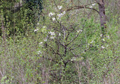 cerisier défriché 18 avril 020 (82).jpg
