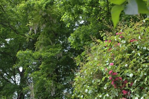 1 wisteria veneux 26 mai 2013 013 (10).jpg
