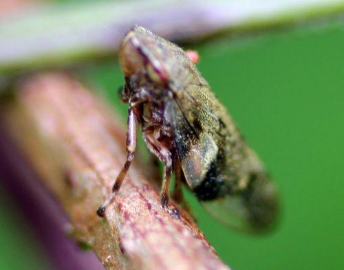 cicadelle rec  romilly 16 juil  2012 203 (5).jpg