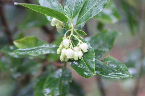 arbutus andrachnoides veneux 25 oct 2016 008.jpg