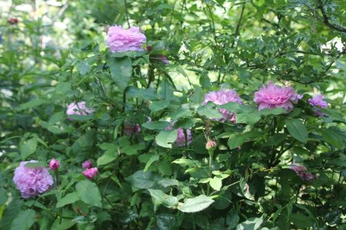 9 rosa inconnue romi 9 juin 2015 005 (1).jpg