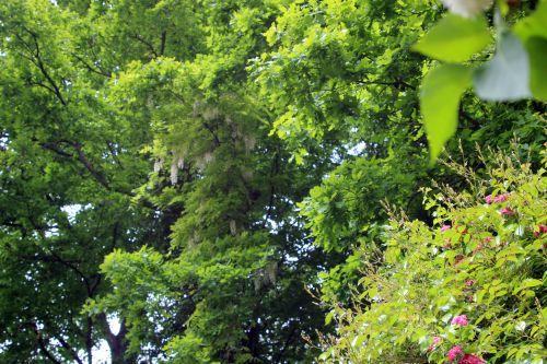 2 wisteria veneux 26 mai 2013 001.jpg