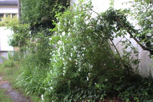 8 philadelphus veneux 11 juin 2016 003.jpg