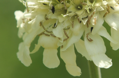 9 cephalaria bord romi 12 juin 2011 024.jpg