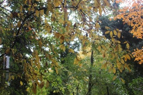 5 mespilus sorbus veneux 28 oct 2015 004.jpg