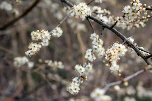 2 prunus spinosa 10 avril 2013 011.jpg
