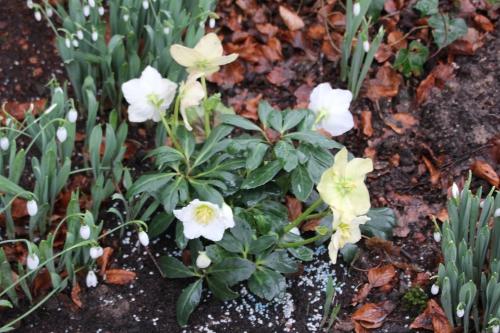 helleborus niger veneux 29 janv 2015 011.jpg