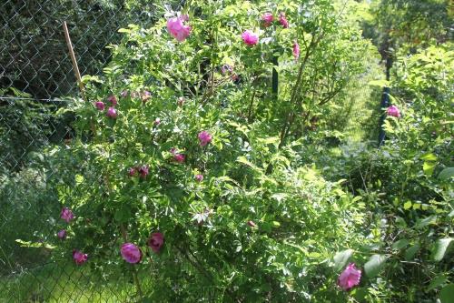 2 rosa rugosa romi 18 mai 2015 043.jpg