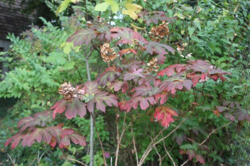 quercifolia veneux 19 oct 2015 007.jpg