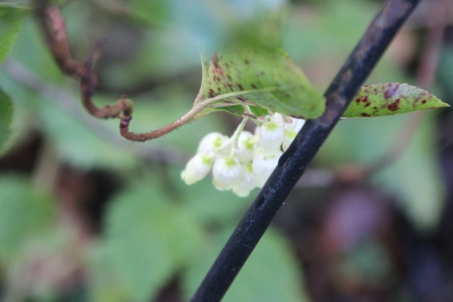arbutus andrachnoides veneux 28 dec 2016 007.jpg