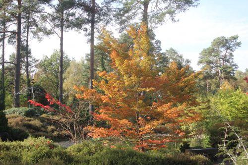 1 acer palmatum gb 21 oct 2012 171 (7).jpg
