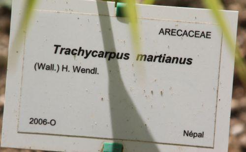16 trachycarpus martianus marnay 16 juin 2013 085 (2).jpg