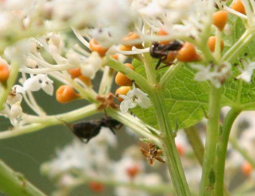 8 fourmis romi 9 août rec 086.jpg