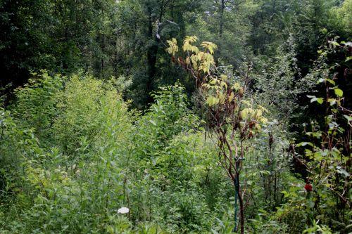 plumosa aurea romi 17 juin 2013 019.jpg