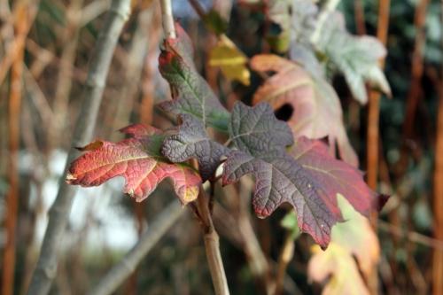 2 hydrangea quercifolia 26 déc 2012 014 (2).jpg