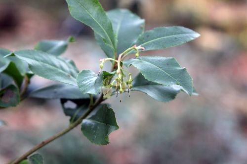 arbutus x andrachnoides 006.jpg