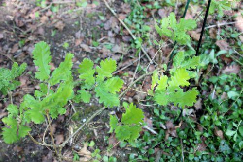 7 quercus pubescens romi 22 avril 2014 009 (5).jpg