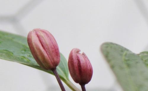 2 clematis apple blossom rec veneux 5 fev 2016 013 (1).jpg