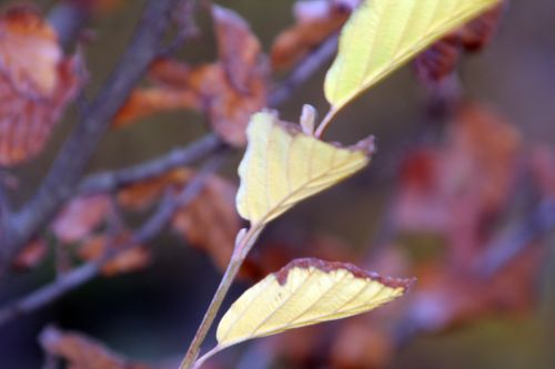 2 hamalelis vernalis paris 10 nov 2012 221.jpg