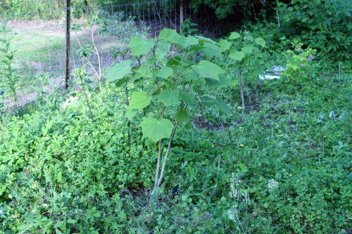 4 hibiscus paramutabilis  romi22 juin 143.jpg