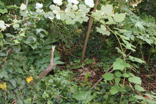 a rubus phoenico veneux 2 août 2014 004 (7).jpg