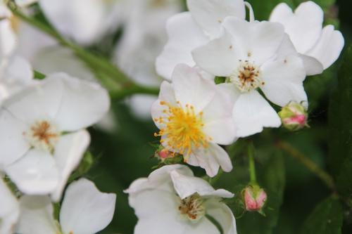 9 rosa multiflora romi 9 juin 2015 021 (5).jpg