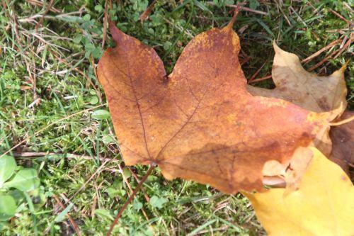 4 acer cappadocicum gb 21 oct 2012 078 (12).jpg
