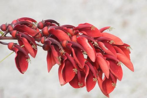 erythrina cristagalli marnay 11 sept 2016 088.jpg