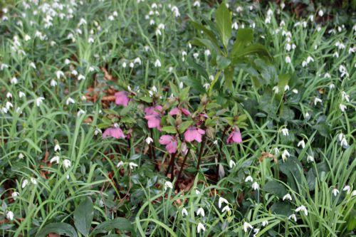 helleborus orientalis veneux 25 fev 2014 004.jpg
