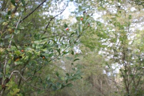 1 crataegus pedicellata romi 27 oct 2017 005 (5).jpg
