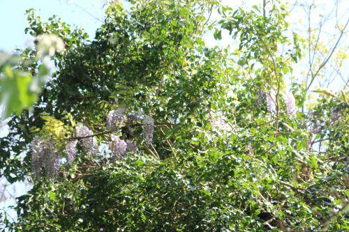 wisteria romi 20 avril 2014 003 (2).jpg