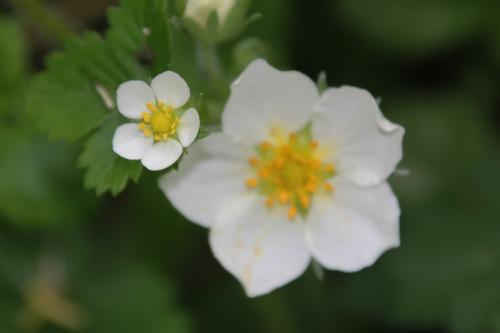 13 fragaria fleurs romilly 7 mai 2015 063.jpg