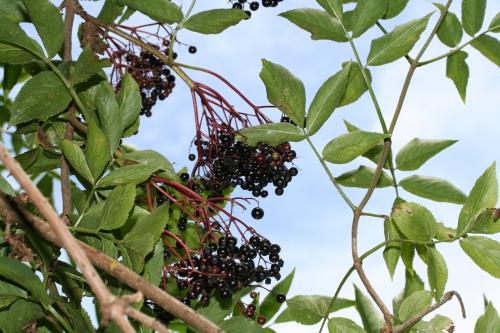 6 nigra fruits ++ 4 août 2008 012.jpg