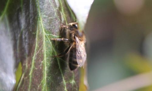 12 abeille veneux 28 fev 2015 031.jpg