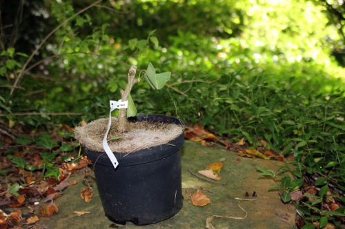 ginkgo king of dongting 10 oct 2013 002.jpg