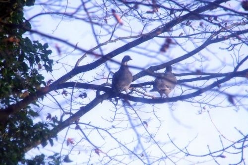 pigeons couple 14 dec 010.jpg
