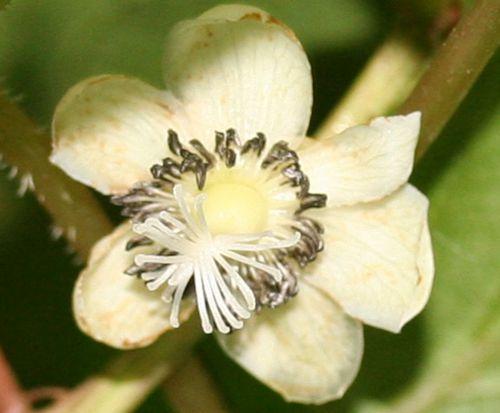 melanandra fleur 4 juin 2008 012.jpg