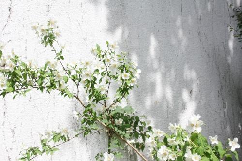 3 philadelphus x lemoinei  veneux 31 mai 2017 036 (3).jpg