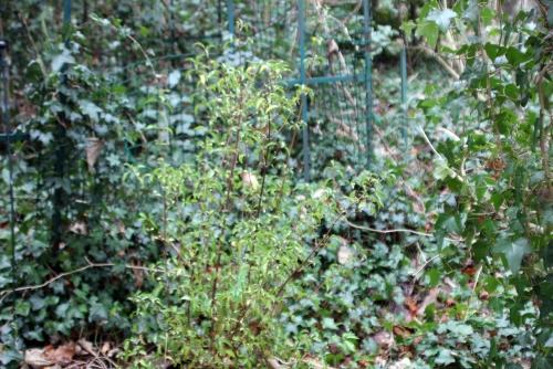 2 viburnum foetidum quad veneux 6 janv 2014 001 (1).jpg
