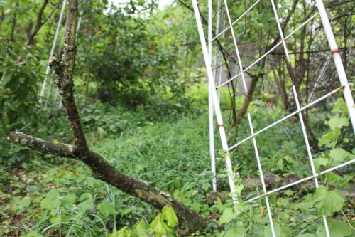 actinidia melanandra veneux 1 mai 2015 014 (7).jpg