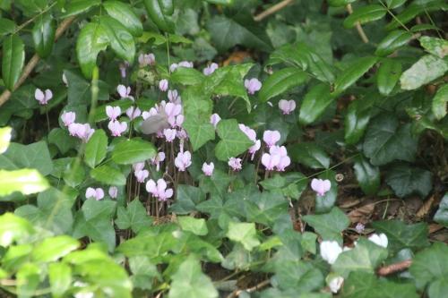 5 cyclamen hederifolium veneux 23 sept 2016 011.jpg