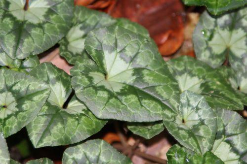 14 cyclamen hederifolium veneux 4 janv 2014 001 (7).jpg