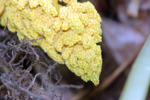 5 trachycarpus marnay 1 juin 2013 009.jpg