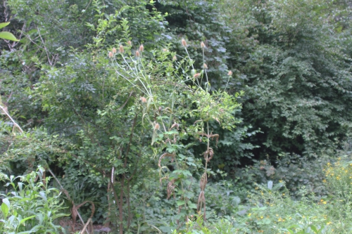 1 cardère romi 16 août 2015 009 (1).jpg