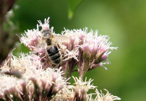 eupatoire abeille romilly 22 août 2012 011.jpg